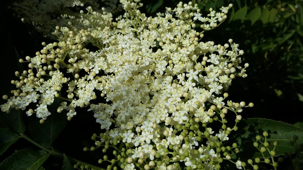 Lace clouds in the hedgerows - a blaze of summer elderflowers.