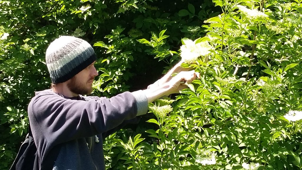 Kieran Jefferson, the foragin chef, picking elderflowers in Bristol.