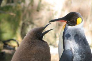 emperor-penguin-eco-companion