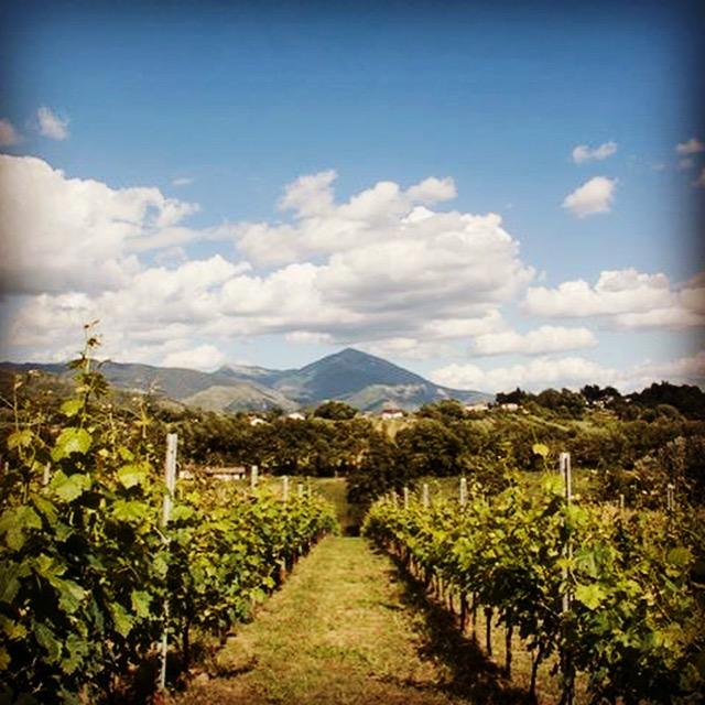 The vineyard at Palazzo Tronconi