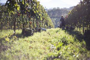 The biodynamic grape harvest at Palazzo Tronconi