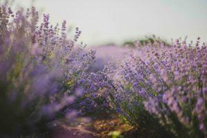 Lavender has many health benefits.