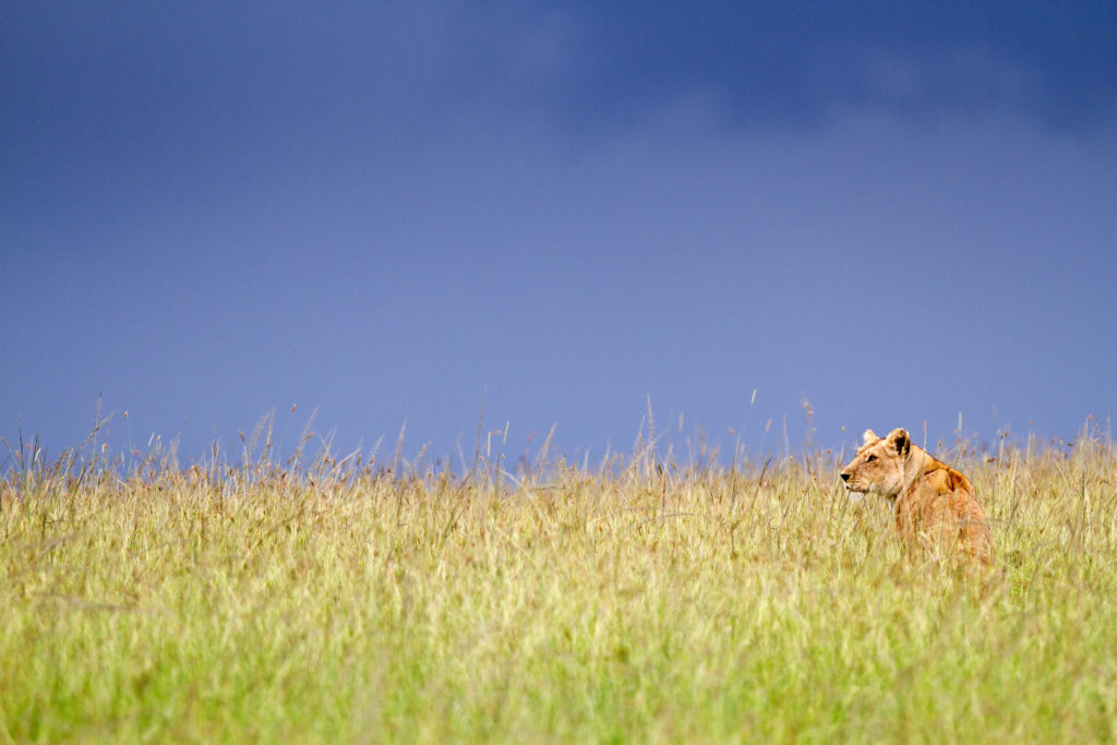 Dynasties, lioness Charm, photographer Simon Blakeney