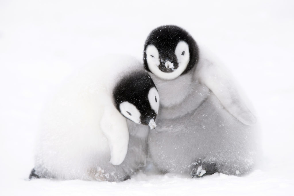 Dynasties, penguin chick huddle together for warmth, photographer Stefan Christmann