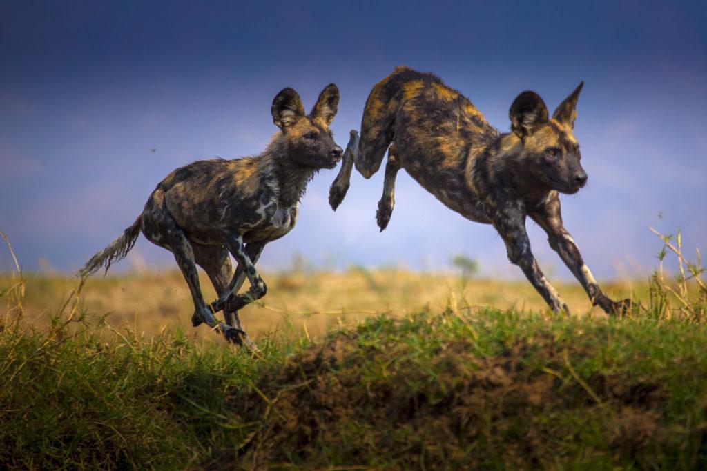 Dynasties, hyenas leap, photographer Nick Lyon