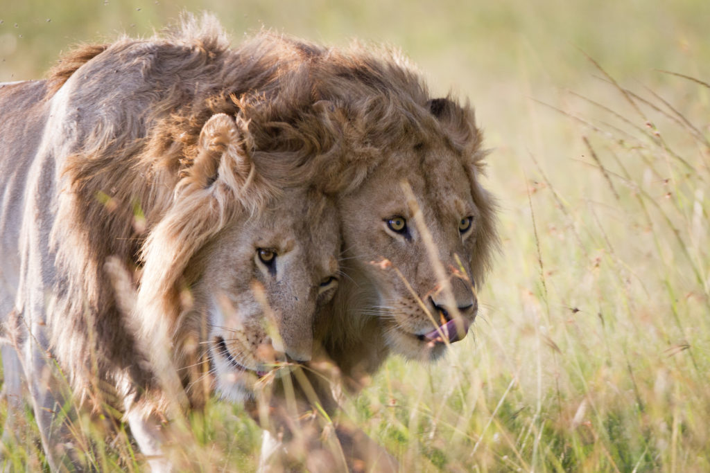 Lionesses Charm and Sienna photographed for Dynasties by Simon Blakeney