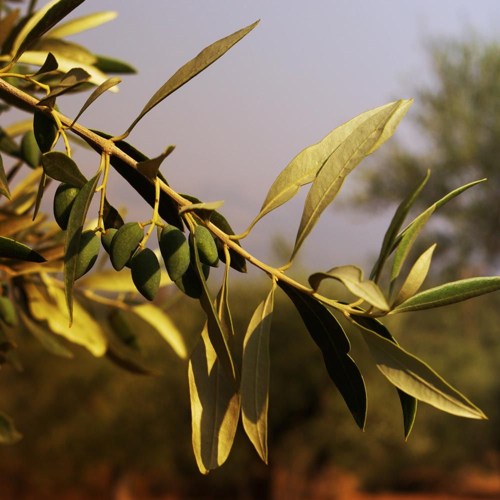 An organic olive branch from Oliveology's farm in Sparta, Greece.