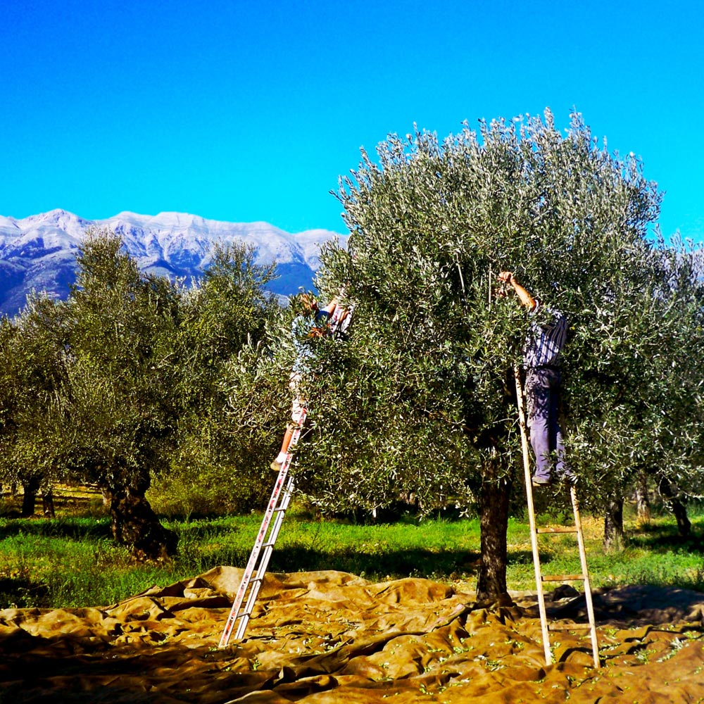 Workers pick olives from trees. Photo courtesy of Oliveology.